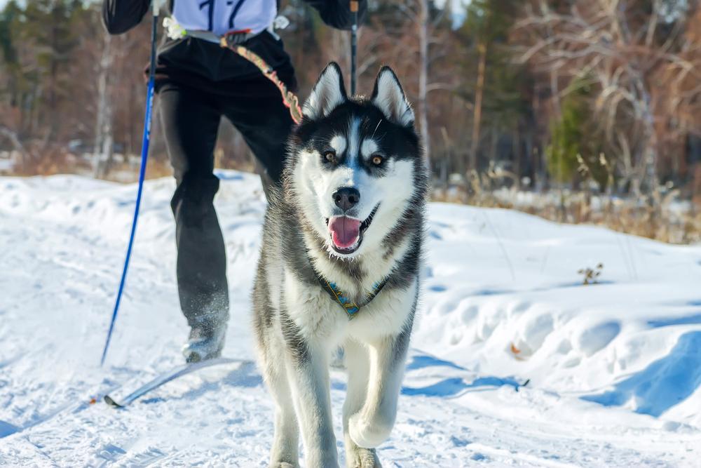 Dog with skiier
