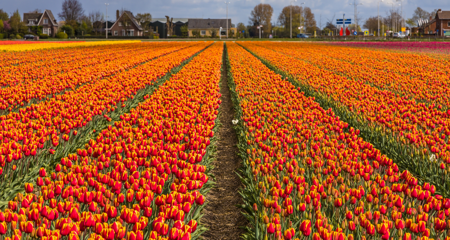 Tulips in Lisse