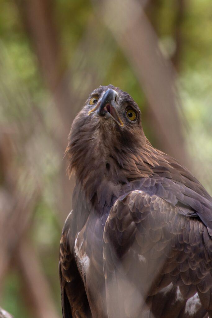 Steppe Eagle - Al Ain Zoo (photo: Jeff Kingma)