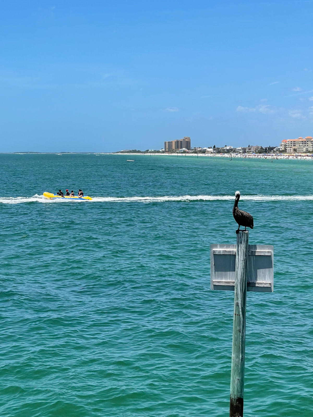 Pelican on Pier 60 at Clearwater Beach